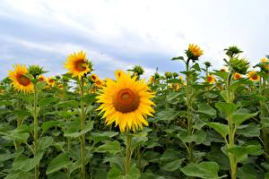 Bilder Sonnenblumen Acker Blüte