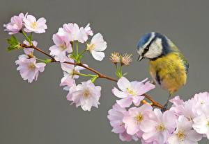 Image Parus Bird Flowering trees Branches Cherry blossom animal Flowers