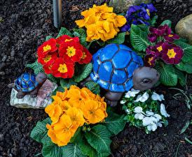 Fotos Schildkröten Primeln Mehrfarbige Blumen