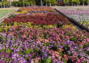Hintergrundbilder Vereinigte Staaten Garten Gazania Viel Kalifornien United Plant Growers in Long Beach Natur