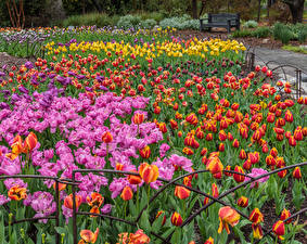 Picture USA Gardens Tulip Many California Multicolor Descanso Gardens flower