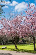 Обои Америка Парки Весенние Цветущие деревья Калифорнии Газон Huntington Beach Park