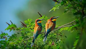 Photo Bird 2 Branches Leaf Merops apiaster Animals