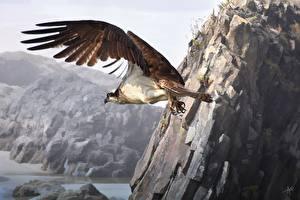 Fotos Vögel Gezeichnet Habicht Flug Flügel Tiere