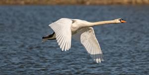Fotos Vogel Schwäne Weiß Flug ein Tier