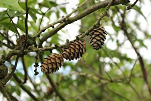 Pictures Blurred background Branches Conifer cone Nature