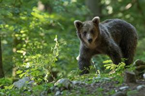 壁紙,熊,棕熊,年幼的动物,凝视,動物,