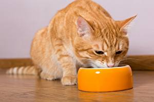 Pictures Cat Eat Bowl Ginger color Animals
