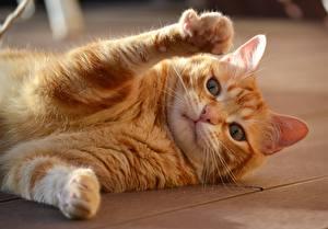 Fotos Katze Liegt Ingwer farbe Pfote Blick