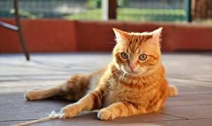 Tapety na pulpit Koty Leży Imbirowy kolor Łapy Wzrok zwierzę