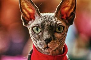 Fotos Hauskatze Sphynx-Katze Kopf Schnauze Unscharfer Hintergrund Starren ein Tier