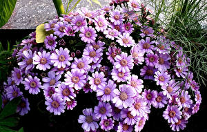 Pictures Cineraria Closeup Violet Flowers