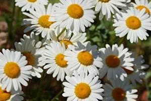 Pictures Closeup Camomiles White flower