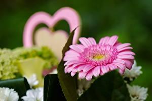 Bakgrundsbilder på skrivbordet Närbild Gerbera Bokeh Rosa färg Blommor