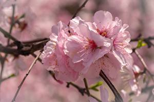 Pictures Closeup Pink color Cherry blossom Flowers