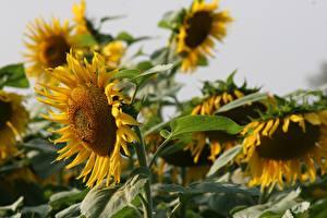 Tapety na pulpit Zbliżenie Słoneczniki Rozmazane tło Żółty Kwiaty