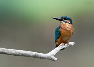 Tapety Zimorodek zwyczajny Ptaki Gałęzie Zwierzęta zdjęcia zdjęcie