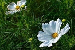 Bakgrundsbilder på skrivbordet Rosenskäresläktet Närbild Vit Blomma knopp blomma