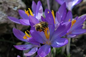 Picture Crocuses Bees Insects Closeup Violet flower