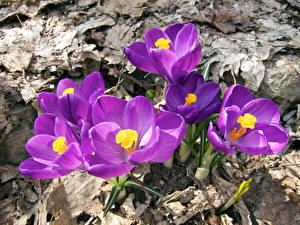 Images Crocuses Closeup Violet Flowers