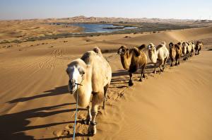 Fotos Wüste Kamele Sand caravan ein Tier Natur