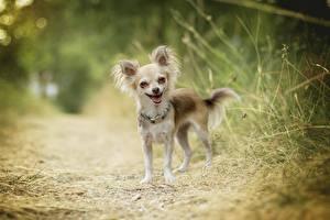 Fotos Hund Chihuahua Lustige Unscharfer Hintergrund Tiere