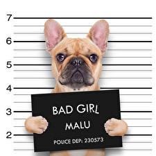 Hintergrundbilder Hund Englisches Text Bulldogge Komische ein Tier