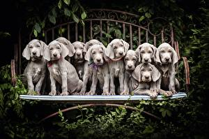 Picture Dog Many Puppy Gray Weimaraner