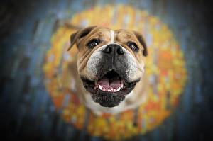 Bilder Hund Schnauze Unscharfer Hintergrund Bulldogge