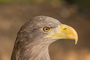 Pictures Eagle Closeup Birds Head Side Blurred background Beak animal