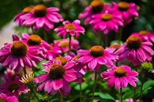 Bilder Purpur-Sonnenhut Viel Bokeh Blüte