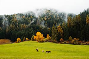 Desktop hintergrundbilder Wald Herbst Grünland Kuh Nebel Natur