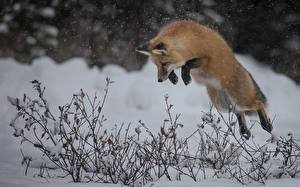 Pictures Foxes Winter Snow Jump animal