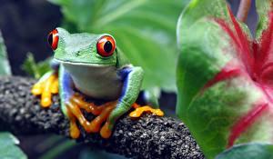 Fondos de Pantalla Ranas Ojos Bokeh red-eyed treefrog Animalia imágenes