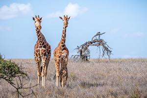 Photo Giraffe Cubs Three 3 animal