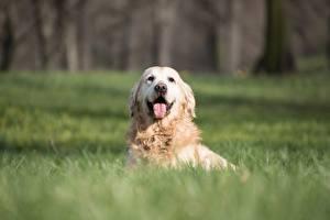 Desktop hintergrundbilder Golden Retriever Hund Gras Liegen Unscharfer Hintergrund Zunge Starren ein Tier