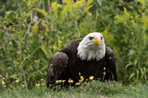 Pictures Hawk Bald Eagle Grass Glance Blurred background