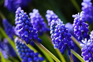 Bakgrundsbilder på skrivbordet Hyacint Närbild Blå Bokeh blomma