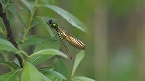Bureaubladachtergronden Insecten Libellen Onscherpe achtergrond Bladeren Calopteryx virgo een dier
