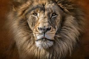 Bakgrundsbilder på skrivbordet Lejon Närbild Djur ansikte Blick Djur
