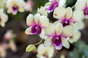 Pictures Orchids Closeup Blurred background flower