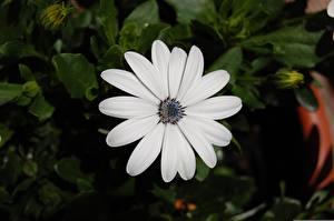 Фотография Остеоспермум Крупным планом Размытый фон Белая цветок