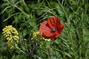 Wallpapers Papaver Red Flower-bud Grass flower
