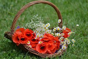 Fotos Mohn Weidenkorb Blüte
