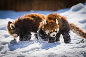 Desktop wallpapers Red panda 2 Snow Animals
