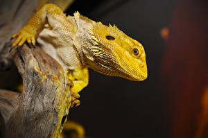 Hintergrundbilder Reptilien Echsen Kopf Starren Bearded Dragon ein Tier