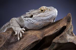 Fotos Reptilien Leguane Kopf Starren ein Tier