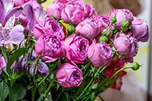 Bilder Rosen Alstroemeria Violett Blütenknospe