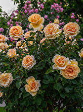 Fotos Rose Orange Blüte