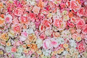 Images Roses Texture Painting Art Pink color Flowers